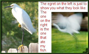 Two egret pictures