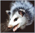 Possum showing teeth