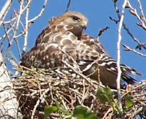 Red tailed hawk on nest